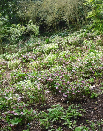 Hellebores at Highdown Gardens