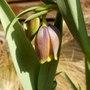 Fritillaria uva vulpa (Fritillaria uva-vulpis (Foxs Grape))