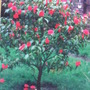 MY CAMELLIA BUSH IN OUR PREVIOUS PROPERTY IN LONDON