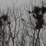 CROWS NESTING IN THE TREETOPS