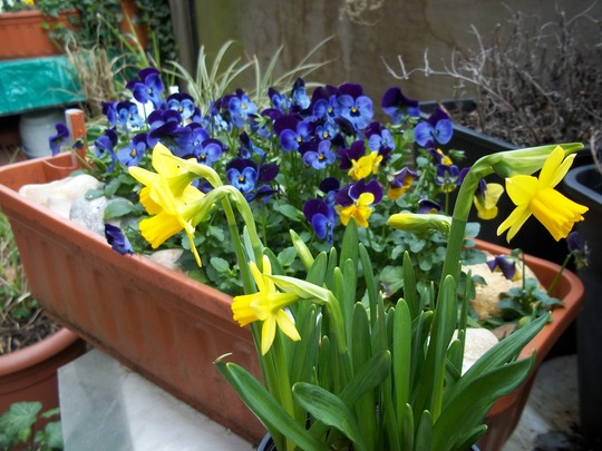 Tete-a-Tete and pansies