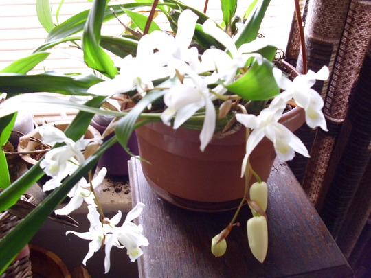Orchid Coelogyne Unchained Melody