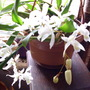 Coelogyne_unchained_melody