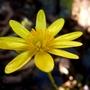 'brazen hussy' celandine....lovely shiny petals... (Ranunculus ficaria 'Brazen Hussy')