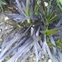 Black Grass (Black Grass)