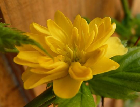 kerria japonica...