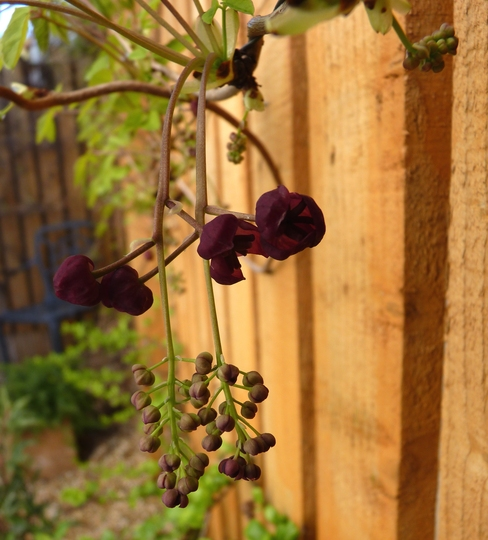 Another surprise today....Akebia Quinata flowering (Akebia quinata (Chocolate vine))
