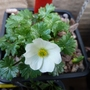 20.3.12 Ranunculus alpestris (Ranunculus alpestris)