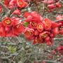 Chaenomeles_lagenaria_vesuvius_flowers_15_04_2010_14_56_57