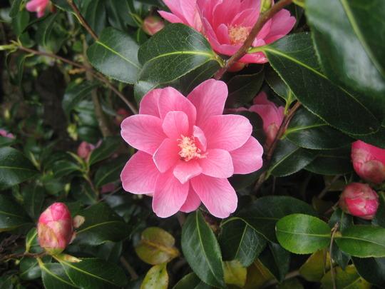 Camellia Phyl Doak reticulata x saluenensis flower 15 04 2010 14 11 11