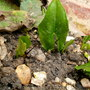 Arisarum proboscideum (Mouse plant)