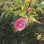 "camellia ""Donation"""