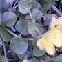 Creeping Jenny in flower (Lysimachia nummularia (Creeping jenny))