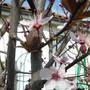 Ornamental Cherry