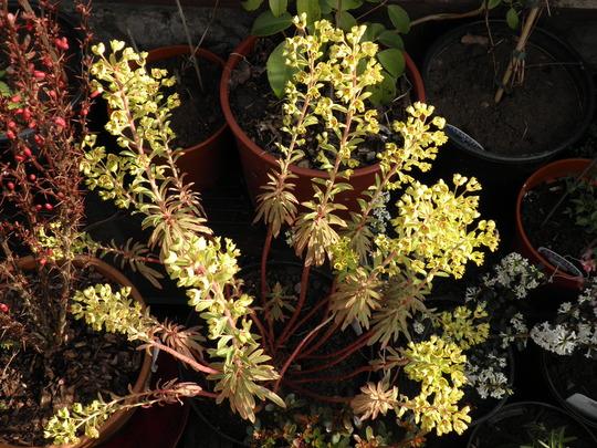 Euphorbia ascot duffers