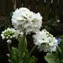 Primula denticulata var. 'Alba'