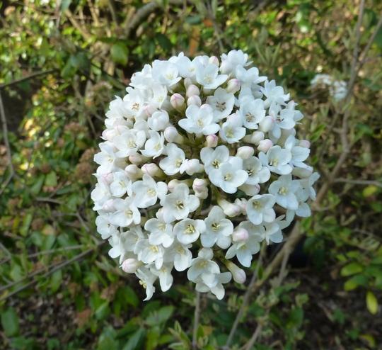 23.3.12 Viburnum x burkwoodii open flower head  (Viburnum x burkwoodii)