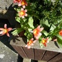 23.3.12_yew_tree_underplanyed_with_miniature_tulips_and_blue_chionodoxa_p1020569_edited