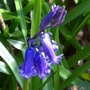 First bluebell