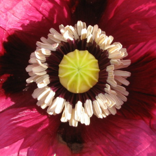 Close up of poppy (Papaver somniferum)