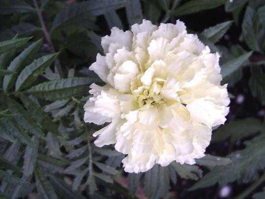 African marigold 'Sweet Cream' (Tagetes erecta)