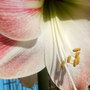 Apple_blossom1