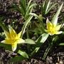 Tulipa_tarda_2012