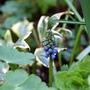 Muscari (Muscari armeniacum (Grape hyacinth))