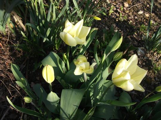 Tulipa Fosteriana 'White Emperor' 'Purissima' creamy/white early flowerer (Tulipa Fosteriana 'White Emperor' 'Purissima' Tulip)