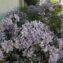 Azaleas Blooming (Azaleas, Geranium maderense)