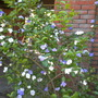 Brunfelsia pauciflora - Yesterday-Today-and-Tomorrow (Brunfelsia pauciflora - Yesterday-Today-and-Tomorrow)