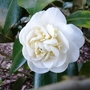 25.3.12_camellia_etr_carlyon_williamsii_p1020591_edited