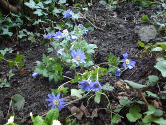 Anemone, Blanda Blue Shades (Anenome blanda)