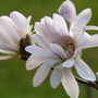 Magnolia_stellata_