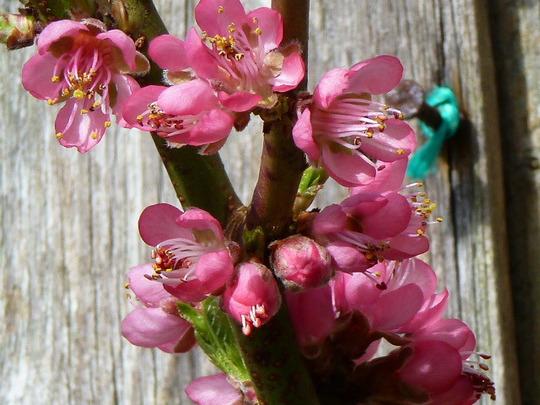 Peach blossom 2012