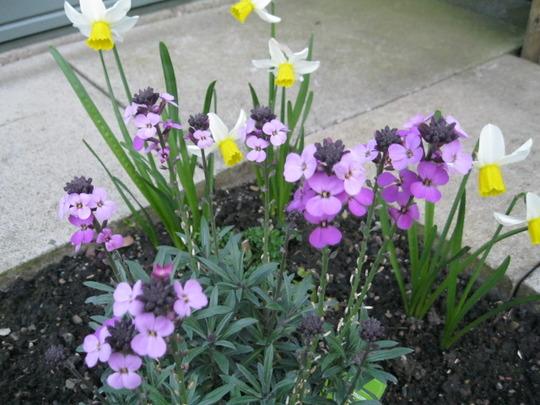Daffodils..Jack Snipe, and Erysimum Bowles mauve..
