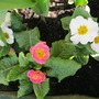Primulas..centre one is called Sweetheart ..