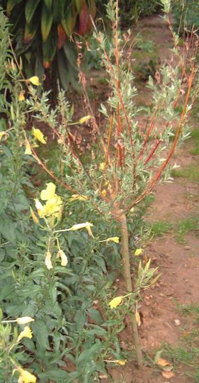 salix 002 (Salix japonica)