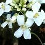 Arabis ferdinandi-coburgi variegata (Arabis ferdinandi coburgi)