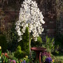 Prunus incisa - Snow showers (Prunus incisa)