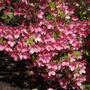 Pink Azaleas (Azalea)