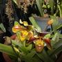 Lady's Slipper Orchid (Lady's Slipper Orchid)