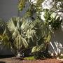 Bismarckia nobilis - Bismarck Palm, Ravenala madagascariensis - Traveller's Palm (Bismarckia nobilis - Bismarck Palm, Ravenala madagascariensis - Traveller's Palm)