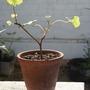 this is how not to grow pelargonium... (pelargonium)