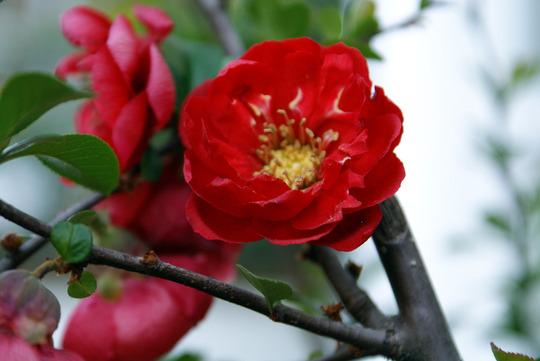 Flowering Quince (Chaenomeles japonica (Japonica))