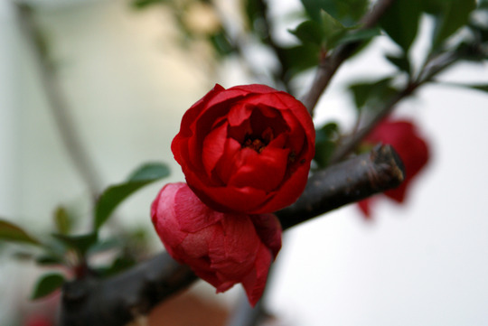 last buds of the chaneomeles (Chaenomeles japonica (Japonica))
