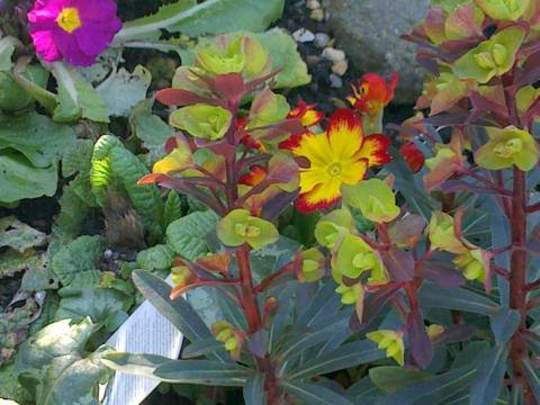Primula and Euphorbia