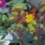 Primula and Euphorbia