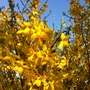 Forsythia on a fine March Afternoon