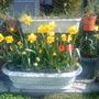 Daffs & tulips on balcony 29-03-2012 (Daffodil)